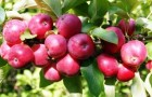 Сорт яблони: Осенняя радость (Алтая)