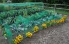 Соседство трав и овощей