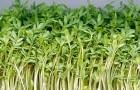 Советы по выращиванию клоповника посевного