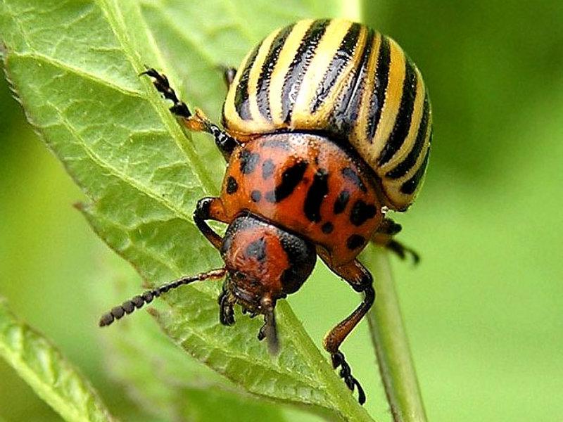 Царские куры против колорадского жука