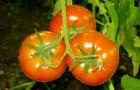 Ускорение процесса созревания помидоров