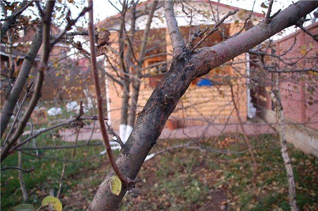 Вредят ли плешечки яблоне?