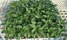 Выращивание перца и баклажанов