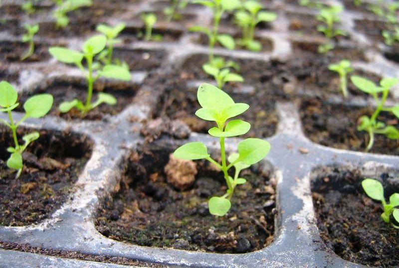 Выращивание рассады в банке