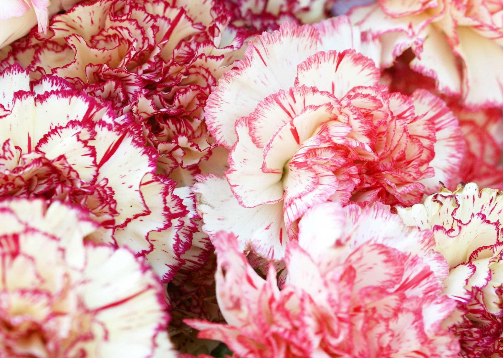 Цветы гвоздики шабо фото цветов