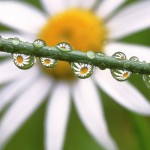 Daisies in the dewdrops