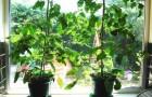 Выращиваем помидоры на подоконнике