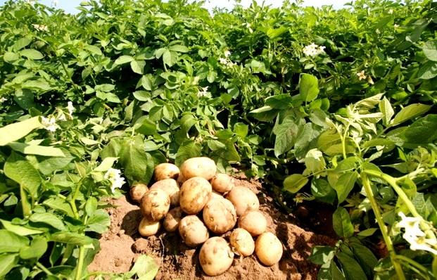 Большой урожай картофеля