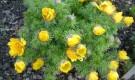 Белоцветник на альпийской горке