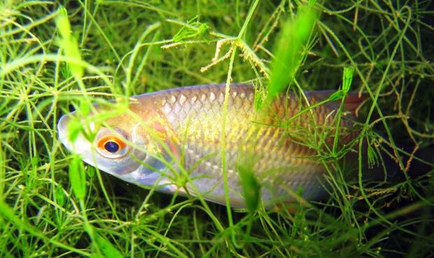 Биологические особенности и места обитания плотвы