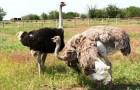Болезни страусов и их профилактика