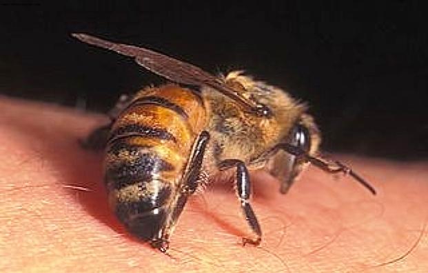 Действие пчелиного яда на организм