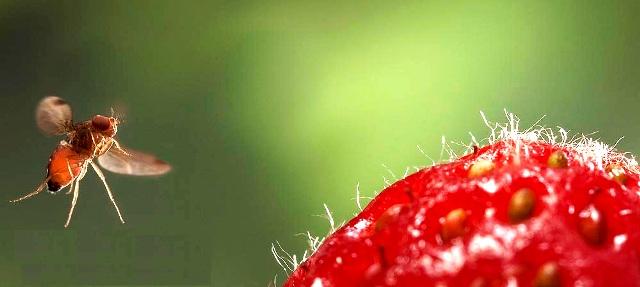 В поисках ягод и фруктов невкусных для дрозофил
