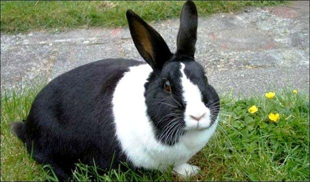 Голландская порода кроликов