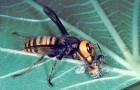 Хищники пчел