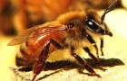Итальянская пчела