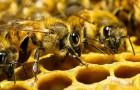 Как определить силу пчелиной семьи