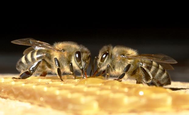 Как ускорить размножение пчелиных семей