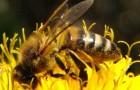 Кавказская равнинная (предкавказская) пчела