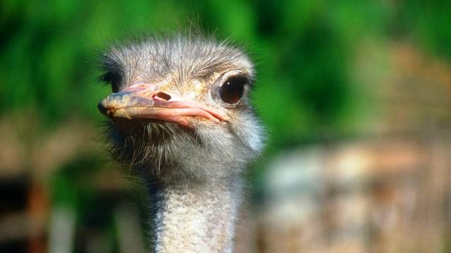 Классификация страусов