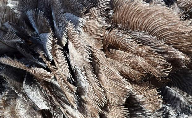 Коммерческая ценность страусиного пера