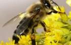 Краинская порода пчел