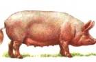Литовская белая порода