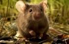 Мышиные