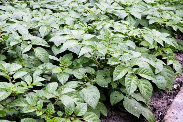 Настой картофельной ботвы для борьбы с клещами