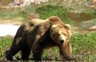 Облавная охота на медведя