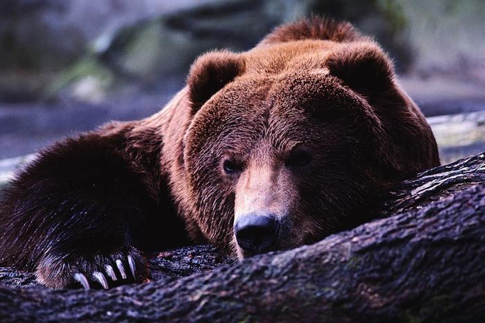 Охота на берлоге на медведя с лайкой