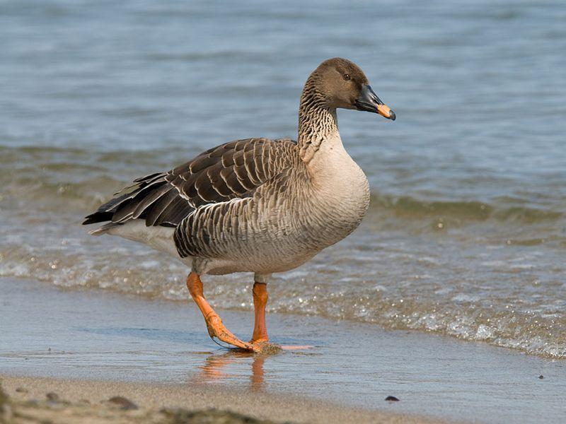 Охота на гусей на перелетах