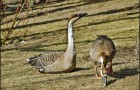 Охота на гусей на полях