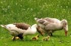 Охота на гусей с чучелами и манными гусями