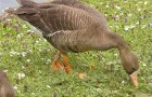 Охота на гусей с подъезда и подхода