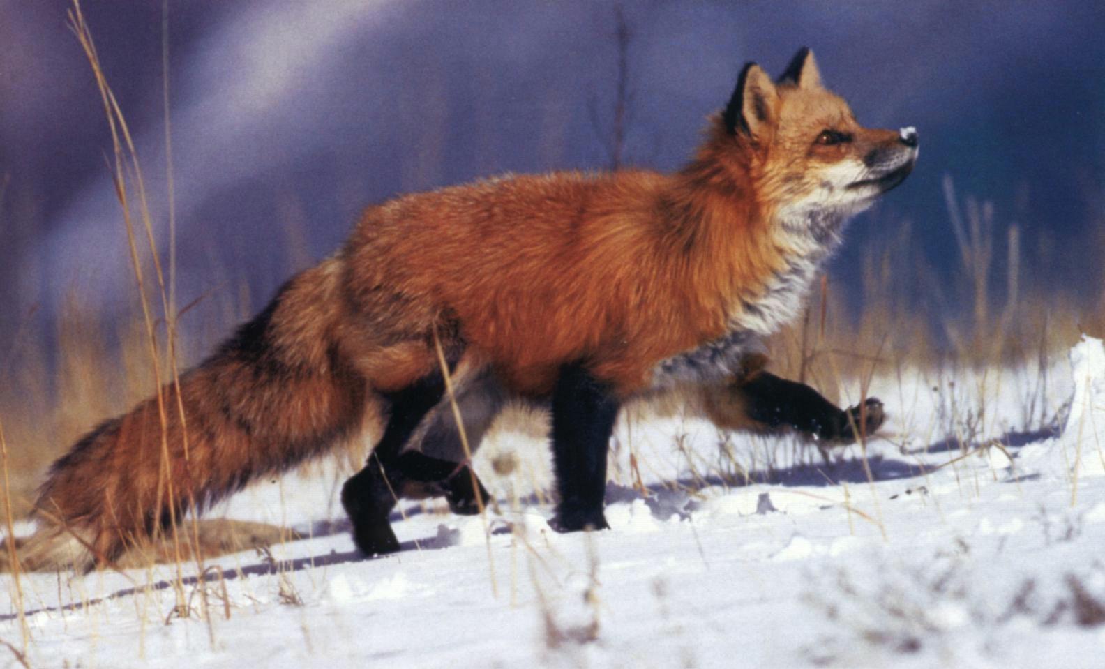 Охота на лис с норными собаками