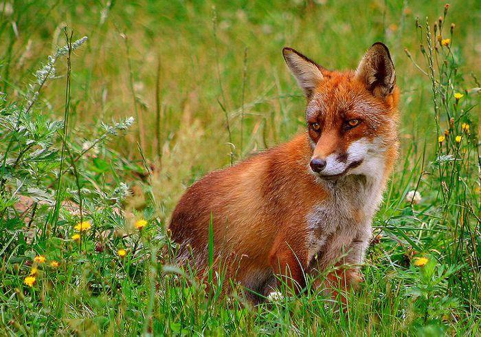 Охота на лис с подхода