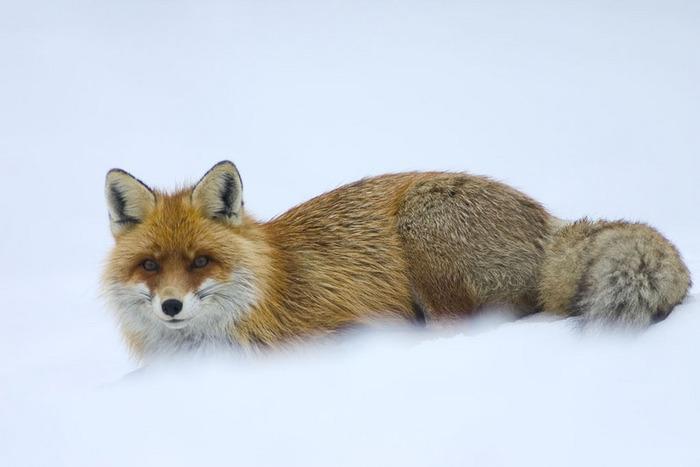 Охота на приваде на лис