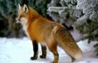 Охота нагоном на лис