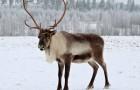 Охота скрадыванием на северного оленя