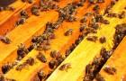 Пчёлы гибнут из-за ГМО