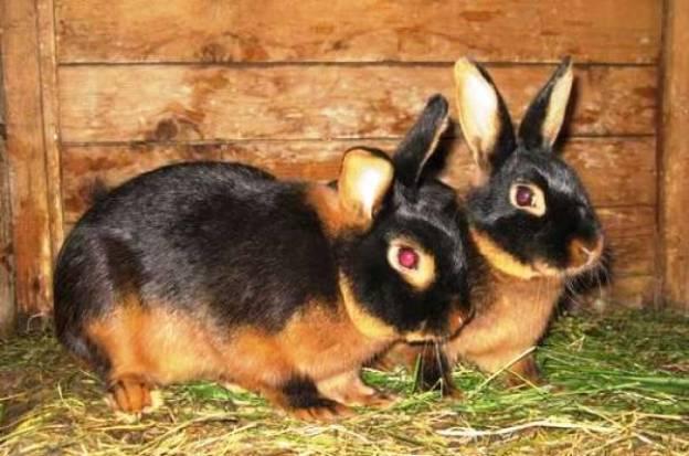 Порода черно-бурый кролик