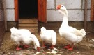 Порода холмогорские гуси
