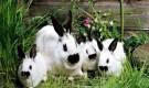 Порода калифорнийский кролик