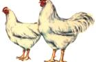 Порода корнуэльские куры