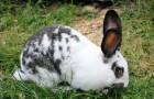 Порода кролика бабочка