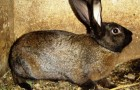 Порода кролика советский мардер