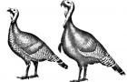 Порода северокавказский бронзовый индюк