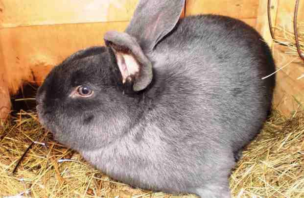 Порода венский голубой кролик