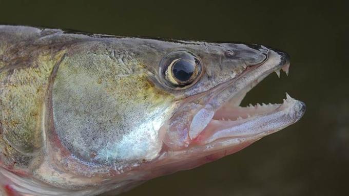 Поролоновая рыбка для ловли судака